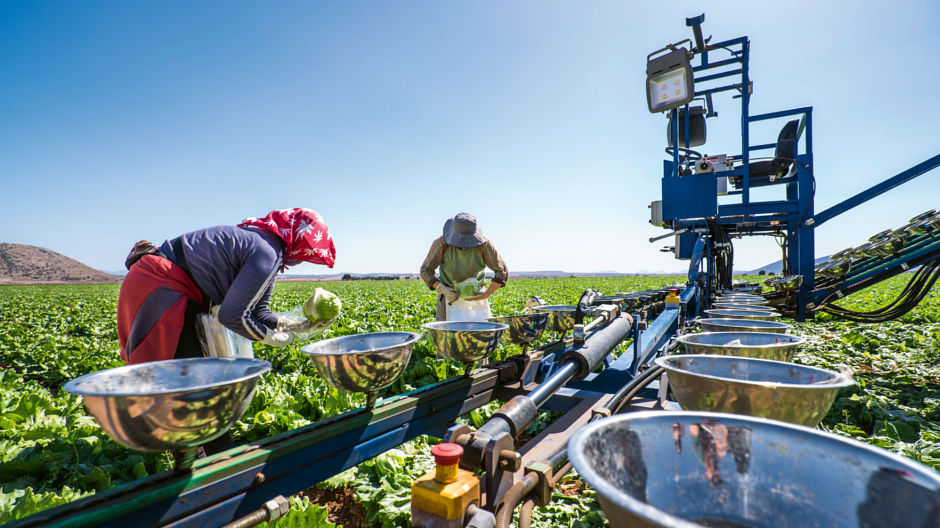 "Perfect growing conditions all year round. Farm labourers harvesting iceberg lettuce at the ""El Campillo"" farm near Caravaca de la Cruz. The lettuces are sorted and graded at the headquarters of Agromontes Fresh Group in El Mirador."